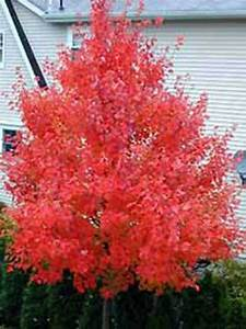 Ahorn Rote Blätter : acer rubrum 39 october glory 39 rot ahorn 39 october glory 39 g nstig kaufen ~ Eleganceandgraceweddings.com Haus und Dekorationen