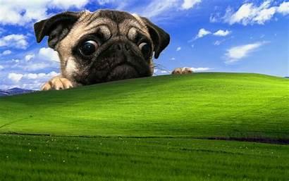 Pug Xp Windows Dog Wallpapers Backgrounds Desktop