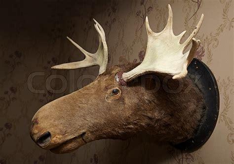 taxidermy moose head  wallpaper   livingroom stock
