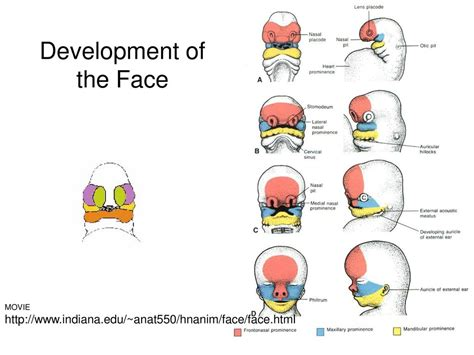 Orofacial Embryology Prenatal Development  Ppt Download