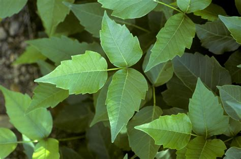 Getting Rid Of Poison Ivy Oak And Sumac On Pets