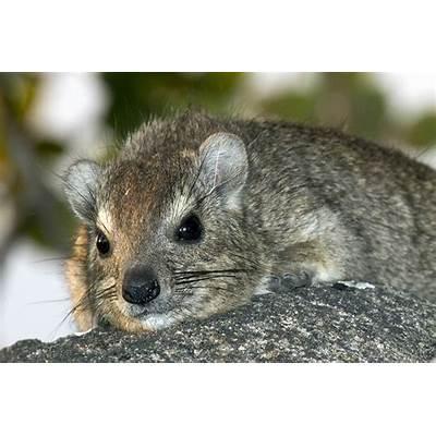 Photos of hyraxes Procaviidae