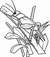Cricket Coloring Jerusalem Pages Animals Printable Sheet sketch template
