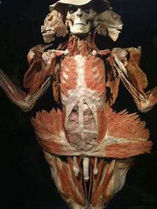 U00bb Body Worlds Vital Human Anatomy At Colby