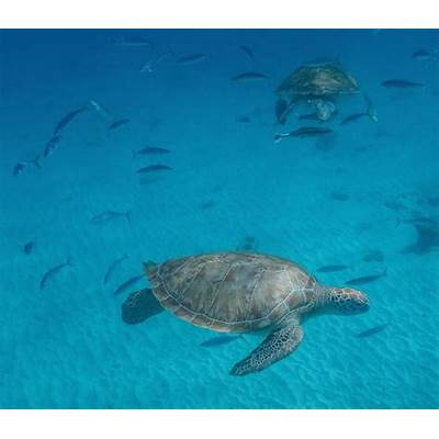 Cannundrums: Green Sea Turtle