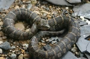 Indiana Water Snake Poisonous