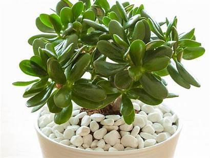 Jade Plant Care Plants Fertilizer Few Maintenance