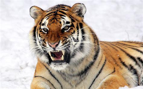 wild tiger predator wallpapers hd wallpapers id