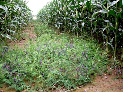 chambre d agriculture du bas rhin semis de couverts sous le maïs a2c le site de l