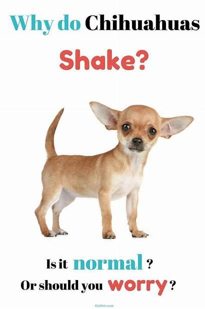 Chihuahuas Why Shake Chihuahua Dog Puppies Dogs