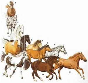 Combien De Chevaux : combien existe t il de races et de couleurs de chevaux cole l mentaire vill le ~ Medecine-chirurgie-esthetiques.com Avis de Voitures