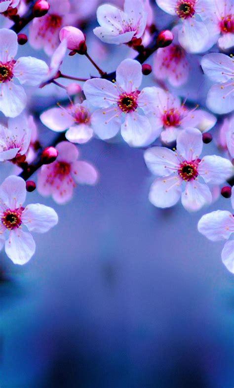 cherry blossom hd  wallpaper