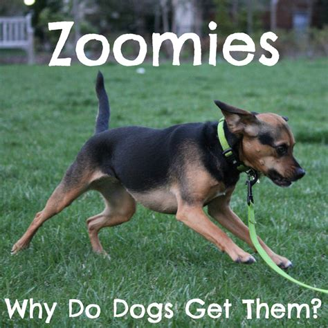 dog zoomies archives beagles  bargains
