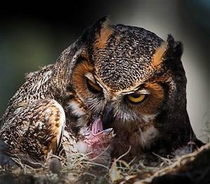 Great Horned Owl Eating