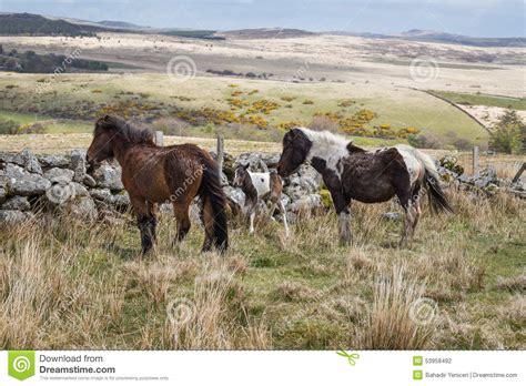 dartmoor wild pony devon newborn parents national its park