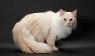 ragamuffin cats ragamuffin cat breed information