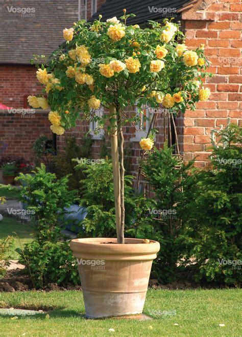 jardinage des arbustes en pot pour la terrasse vosges matin