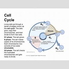 Week 7th To 11th November The Cell Cycle, Cancer, Dna And Dna Replication  Science Blog For