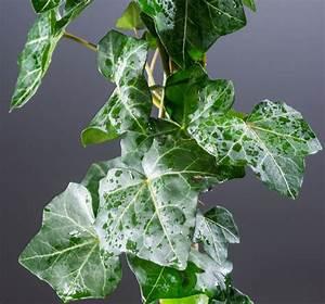 Schnell Rankende Pflanzen : efeu pflanzen kaufen efeu doppel bogen pflanzen online kaufen bestellen efeu jessica topf ca ~ Frokenaadalensverden.com Haus und Dekorationen