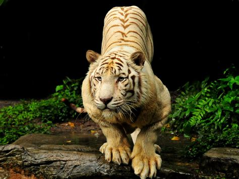 Free Live Tiger Wallpaper Wallpapersafari