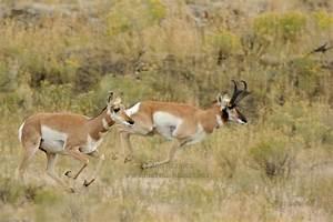 Pronghorn Antelope Running