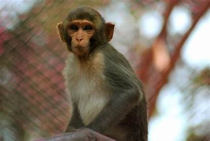 Monkey Wallpapers Act Animals Tough Trying Walls
