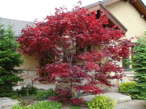 japanese maple superb japanese maple coral bark look dallas contemporary landscape innovative designs with bark