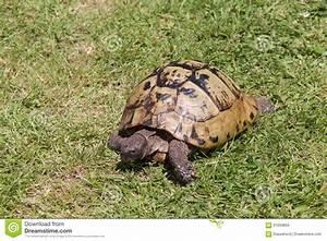 Tortoise Walking Stock Photo Image 61059850