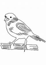 Canary Coloring Bird Pages Sketch Popular sketch template