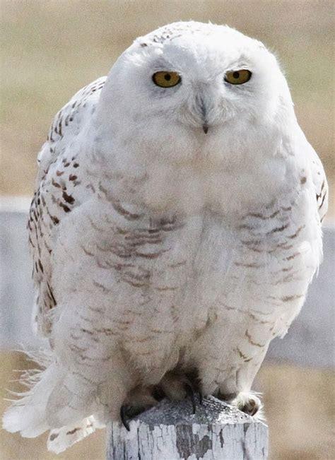 bird snowy owl  april