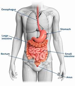 Understanding The Intestines