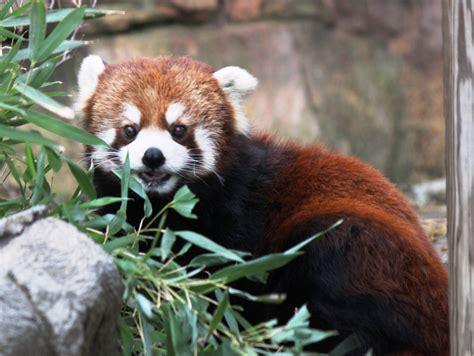 Red Panda Facts Red Panda Love
