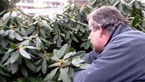 Rhododendron Blüten Schneiden : wie schneide ich rhododendron youtube ~ A.2002-acura-tl-radio.info Haus und Dekorationen