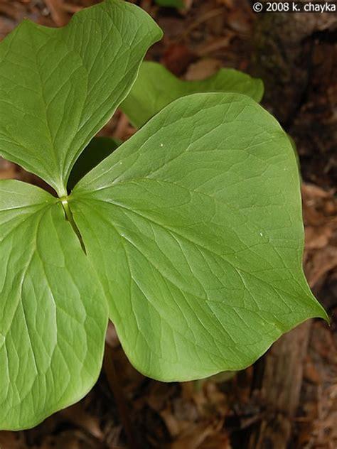 trillium leaves trillium cernuum nodding trillium minnesota wildflowers