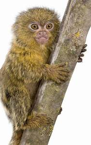 pigmy_marmoset_baby | Monkey Facts and Information