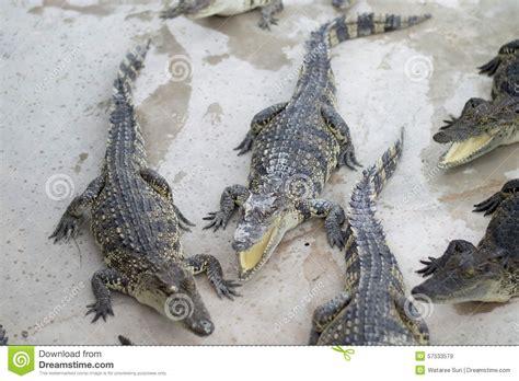 what color are crocodiles crocodile stock photo image 57533579