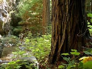 Download Redwood Trees Wallpaper Gallery