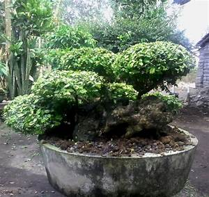 Bonsai Serut-trees