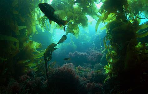 seaweed fucus vesiculosus  rauschch