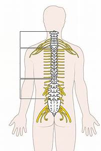 File Diagram Of The Spinal Cord Unlabeled Jpg