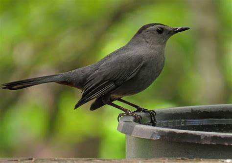 return of the catbirds backyard bird nerd