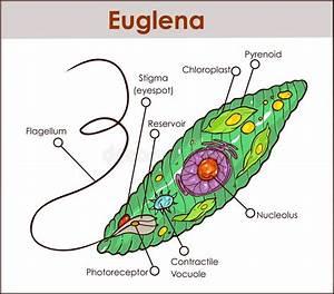 Vector Euglena Cross Section Diagram Representative