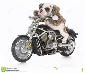 Dog riding motorcycle stock image. Image of funny, concept ...