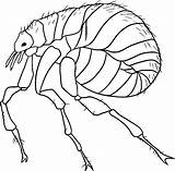 Flea Coloring Draw Pages Daphnia Step Drawing Printable Sketch Animal Animals Bugs Sheet Template sketch template