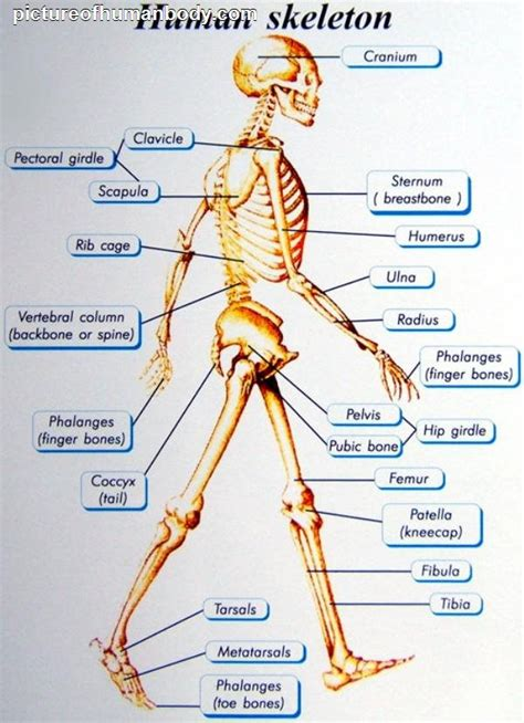 Bones have three parts, plus most have a substance deep inside called marrow. Human body (muscles and bones) - euroepslamour