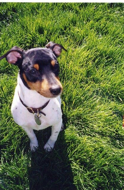 photos of rat terriers from the rd ranch dog breeds picture