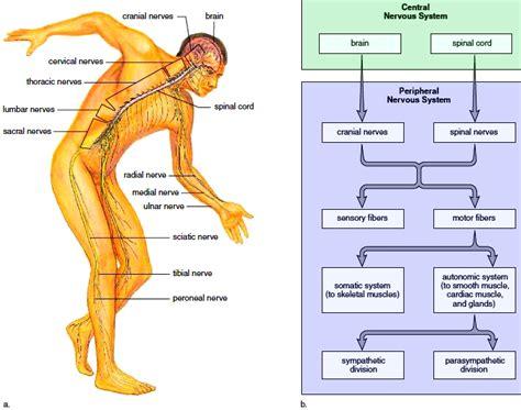 Nervous System. Divisions Of The Nervous System. Nervous
