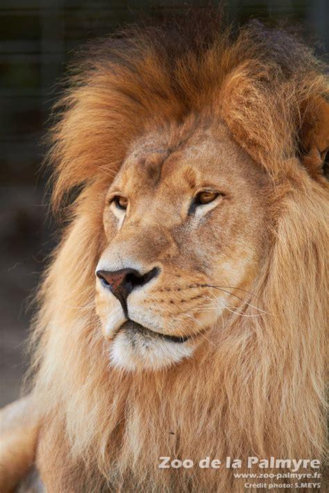 lion zoo de la palmyre