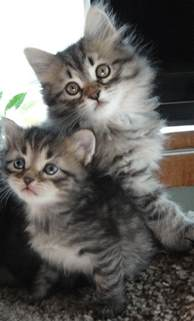 siberian cat breeders kitty cats in my the hypoallergenic siberian cat