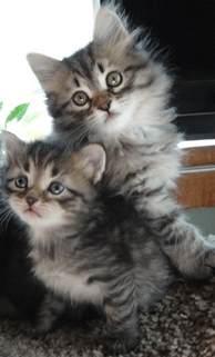 Hypoallergenic Siberian Cat Breeder
